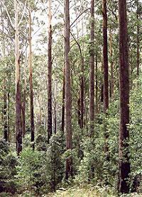 Blackbutt trees