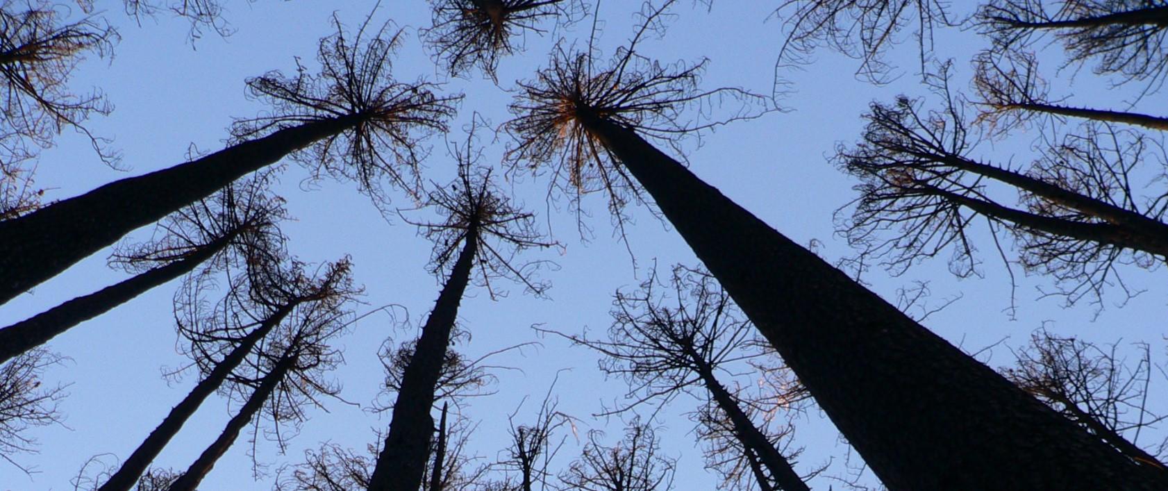 Sugar Pine Walk - looking up