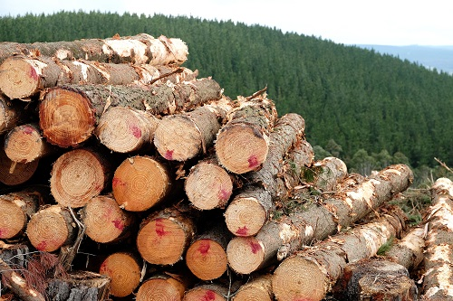 Logs and pine forest