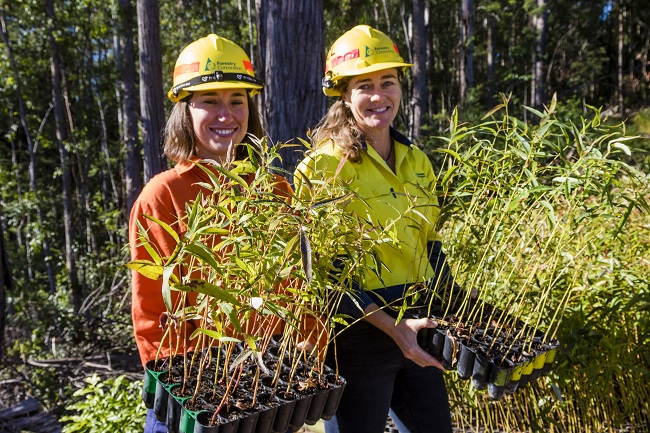 Replanting seedlings in Tarkeeth State Forest